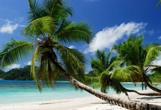 עץ דקל בחוף פרלין