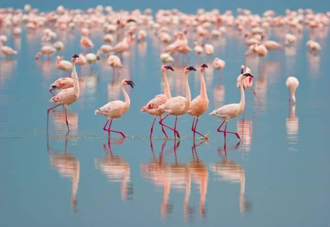 להקת פלמינגו בנהר