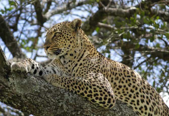 נמר על עץ בשמורת הסרנגטי