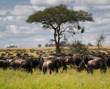 הנדידה הגדולה בסרנגטי טנזניה