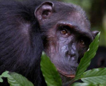 שימפנזה בטנזניה אדי גרלד
