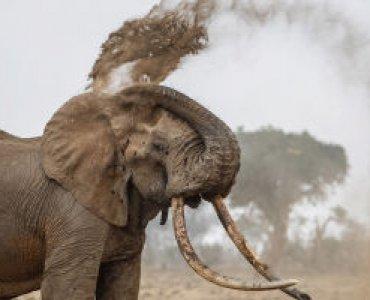 פיל עושה מקלחת חול