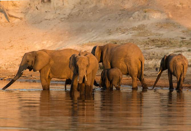 פילים על גדות נהר הצ'ובה