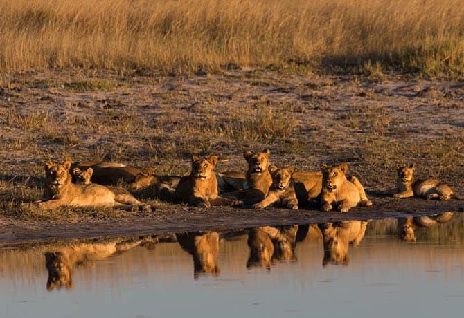 להקת אריות בספארי בשמורה