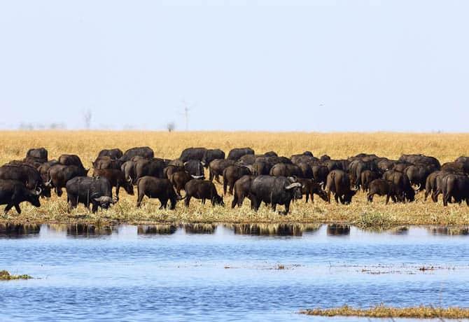 עדרים בנהר הצ'ובה
