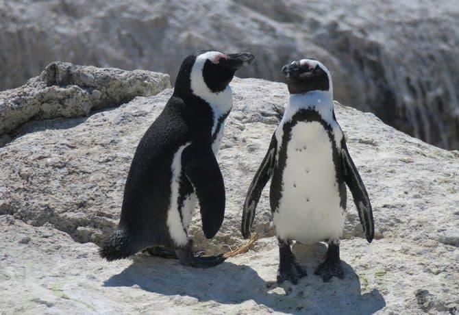 פינגווינים בקייפטאון