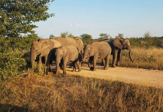 משפחת פילים בספארי בשמורת קרוגר