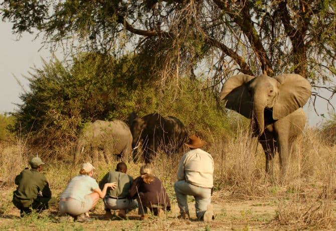 ספארי הליכה פילים זמביה