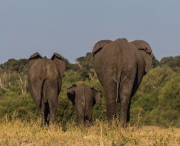 3 פילים הולכים
