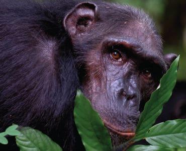 שימפנזה בשיחים