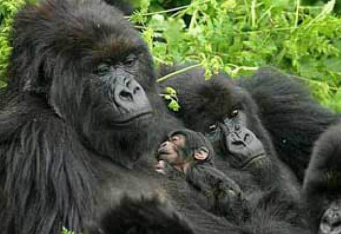 גורילות ההרים הנדירות של אוגנדה