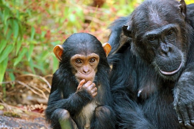 שימפנזים