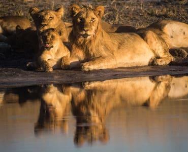 אריות נחים על גדת הנהר