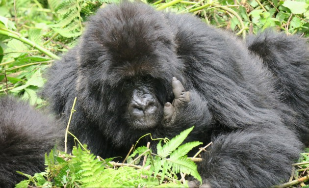 ronit-gorilla