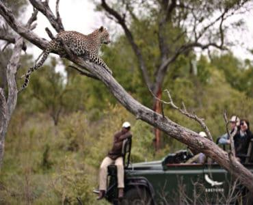 מטיילים צופים בנמר על העץ