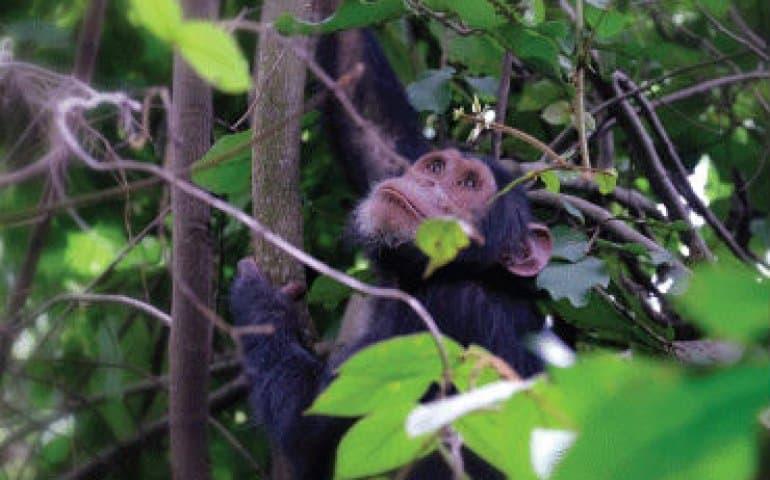 שימפנזה יושבת על העץ ומביטה למעלה