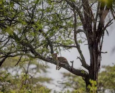 נמר רובץ על עץ